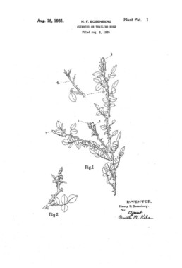 Climbing or Trailing Rose Patent