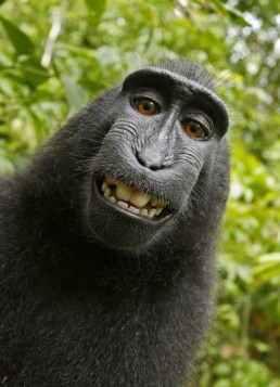 Naruto_macaque_monkey-selfie